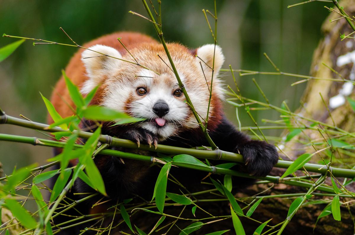 sichuan red panda