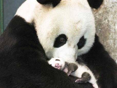 Panda mom.jpg
