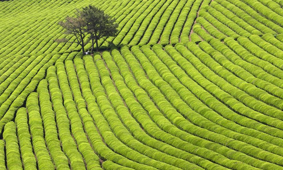 Boseong Green Tea Farm.jpg