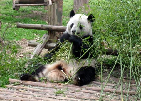 Visit Pandas in China, CTS Horiozns