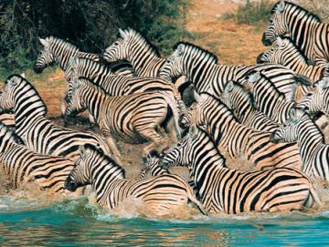 05_Zebras_41.jpg