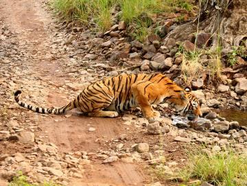 Ranthambore Tiger, CTS Horizons.jpg