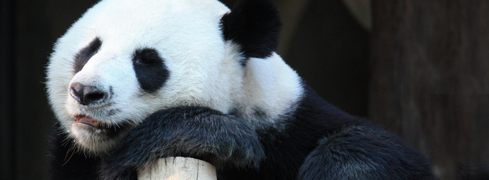 panda banner.jpg