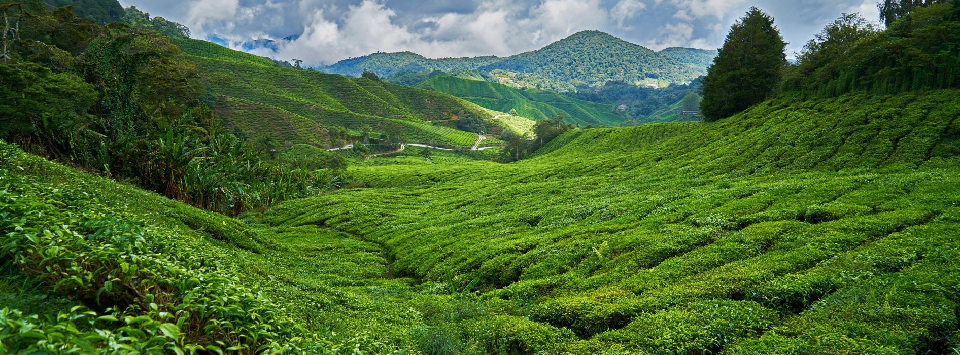 tea field1.jpg