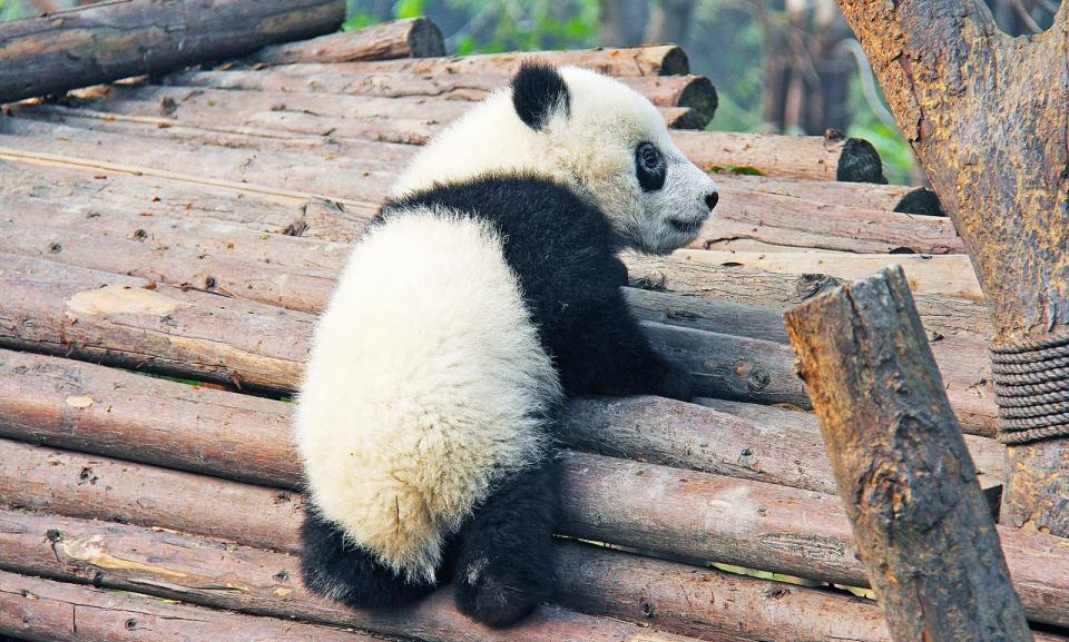 Chengdu Panda research centre.jpg