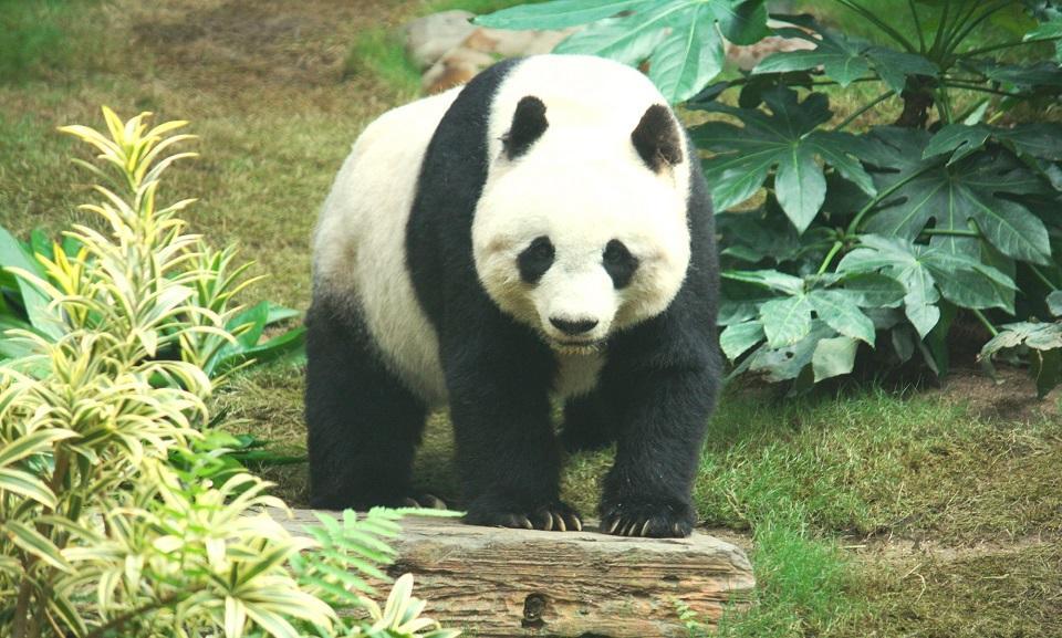 Giant Panda CTS Horizons.JPG