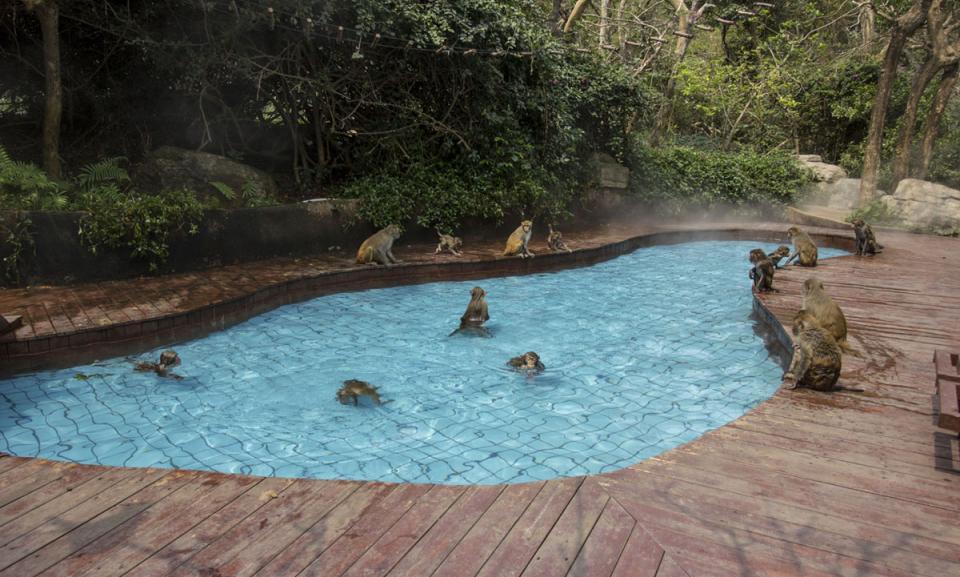 monkeys by swimming pool.jpg