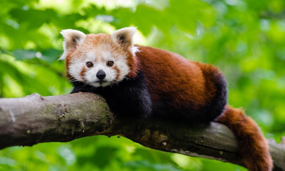 red panda branch.jpg
