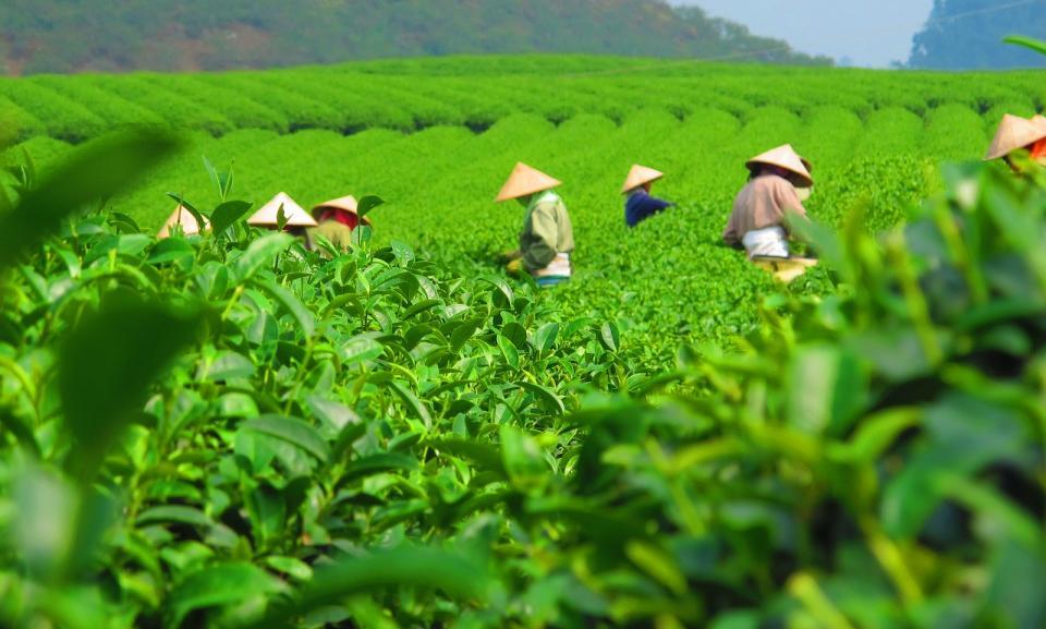 tea field workers.jpg