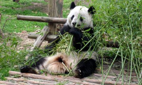 Pandas, Chengdu CTS Horizons.jpg